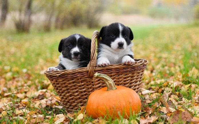 can dogs eat raw pumpkin